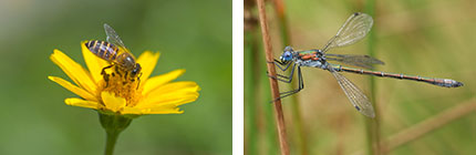 Wildlife Wednesdays: Dragonflies, Damselflies, Bees