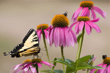 Butterfly on Purple Coneflowers